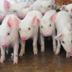 Premium Porc – producție autonomă de carne de porc calitativă