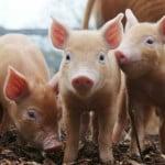 Alertă de pestă porcină, la graniţa României