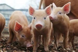 Ordinul 24/2021 privind cresterea porcilor