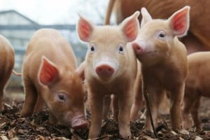 Ajutor de stat crescatori porci