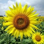 Monsanto lansează un produs inovator pentru controlul buruienilor