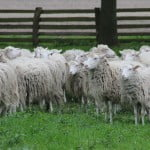 Crescătorii de animale vor primi și în acest an sprijin financiar de la stat