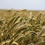 Începe plata avansului la subvenţiile agricole pe 2017