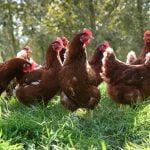 Numărul cazurilor de gripă aviară, în creştere