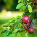 MADR analizează nivelul de pesticide din mere