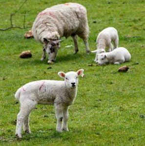 Ajutor de minimis pentru crescatorii de ovine 2019