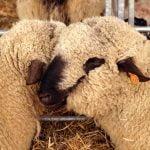 Ajutor de minimis pentru crescătorii de oi. Anunțul făcut de Ministerul Agriculturii