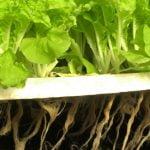 Agricultura acvaponică revoluţionează creşterea legumelor