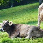 APIA începe plăţile pentru ajutorul de stat în sectorul creșterii animalelor