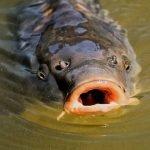 Crapul, campionul peștilor pescuiți în țara noastră