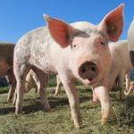 Pesta porcină africană 2020: Ce județe sunt afectate?