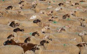 Ajutor de stat pentru crescatorii de animale