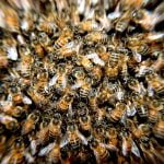 Fonduri pentru crescătorii de albine. Când se fac plăţile?