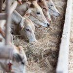Fonduri europene pentru creşterea animalelor: 606 milioane de euro, prin PNDR 2020