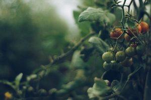 Programul pentru tomate 2020