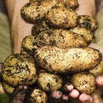 Insecticide cartof: Soluţia perfectă pentru combaterea afidelor