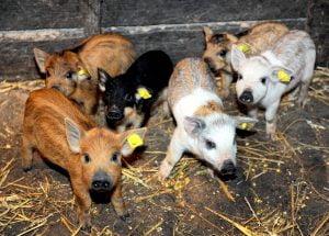 Ajutor de minimis crescatori animale